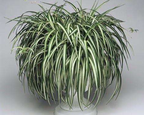Растение Blue Sleep
